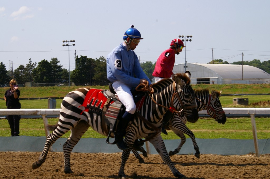 Zebra racing at Fairgrounds Race Course, New Orleans, USA